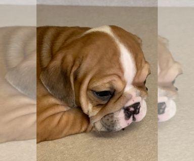 Bulldog PUPPY FOR SALE ADN-127773 - AKC English Bulldogs Puppies