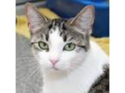 Adopt Little Bits a White Domestic Shorthair / Domestic Shorthair / Mixed cat in
