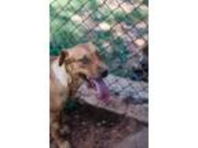 Adopt Rosie a Labrador Retriever, Australian Cattle Dog / Blue Heeler