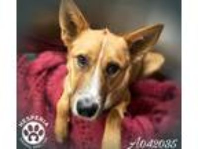 Adopt a Tan/Yellow/Fawn - with White Collie / Mixed dog in Hesperia