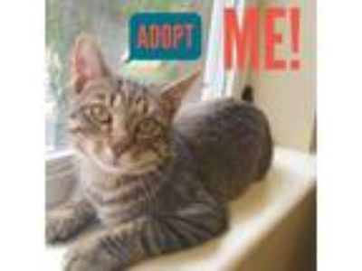 Adopt Orville a Tabby