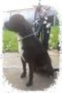 Toby Mastiff - Rottweiler Dog