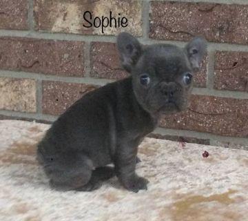 Sadie AKC Female French Bulldog