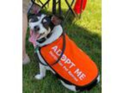 Adopt Spotty Texas a White - with Black Rat Terrier / Jack Russell Terrier /