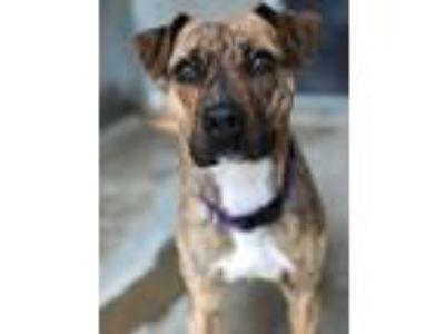 Adopt Lena a Pit Bull Terrier