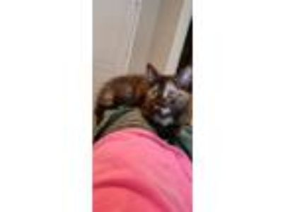 Adopt Patty 2 a Domestic Shorthair / Mixed (short coat) cat in Hoover