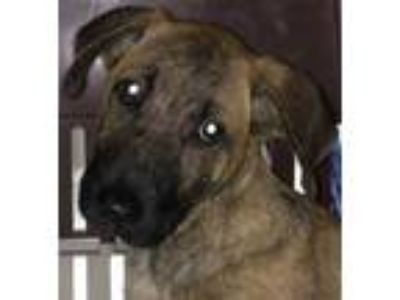 Adopt HENRY a Brindle Hound (Unknown Type) / Mixed dog in San Antonio