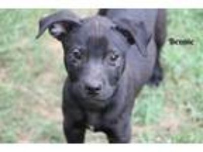 Adopt Bennie a Labrador Retriever, Shepherd