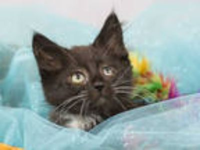 Adopt MOOKIE a All Black Domestic Shorthair / Mixed (short coat) cat in