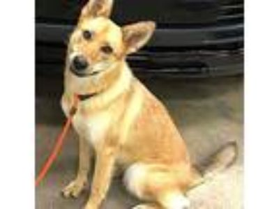 Adopt Nyko a Red/Golden/Orange/Chestnut - with White Husky / Mixed dog in
