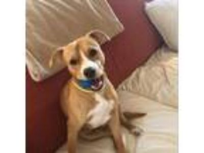 Adopt Charlie a Pit Bull Terrier, Cattle Dog