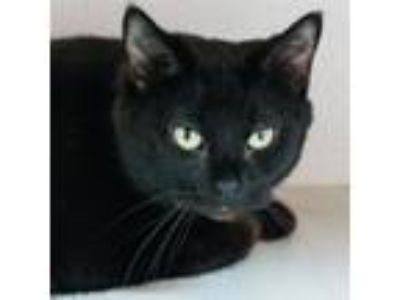 Adopt Midnight -- Bonded Buddy With Sophia a Domestic Shorthair / Mixed cat in