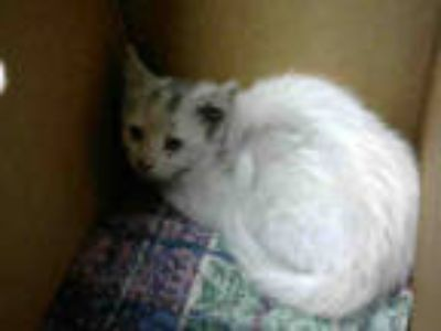 Adopt MOANA a White (Mostly) Domestic Shorthair / Mixed (short coat) cat in San