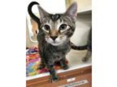 Adopt Zerg a Orange or Red Domestic Shorthair / Domestic Shorthair / Mixed cat