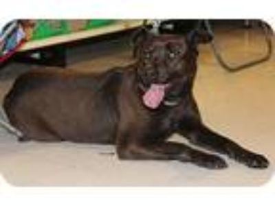 Adopt Chelsea a Black Labrador Retriever / Mixed dog in Midlothian, VA (7155832)