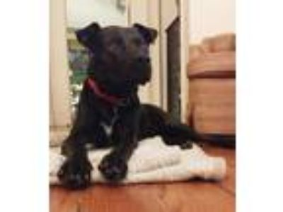 Adopt Eric a Black Labrador Retriever / Mixed dog in Brooklyn, NY (21355552)