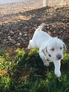 Labrador Retriever PUPPY FOR SALE ADN-89732 - Female Labrador Puppies