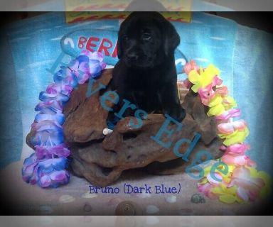 Labrador Retriever PUPPY FOR SALE ADN-124795 - AKC Black Labrador Retrievers