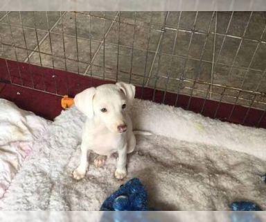 Italian Greyhound PUPPY FOR SALE ADN-124422 - Italian Greyhound Puppies