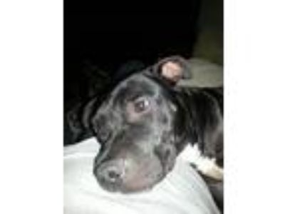 Adopt Coal a Pit Bull Terrier