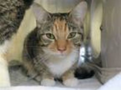 Adopt Emma a Domestic Shorthair / Mixed (short coat) cat in New York