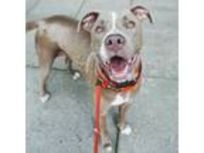 Adopt Bently a Brown/Chocolate Mixed Breed (Large) / Weimaraner / Mixed dog in