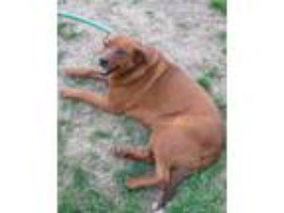 Adopt Penny a Redbone Coonhound, Chocolate Labrador Retriever