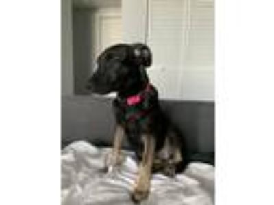 Adopt Rosie Rico a Black - with Tan, Yellow or Fawn German Shepherd Dog / Mixed