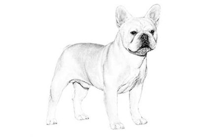 French Bulldog Puppies and adult available