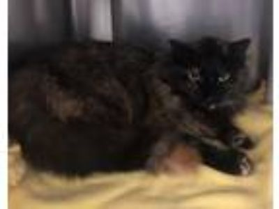 Adopt Hazelnut a Tortoiseshell Domestic Longhair (long coat) cat in Chippewa
