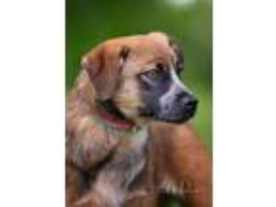 Adopt Minnie a Brown/Chocolate - with Tan Blue Heeler / Jack Russell Terrier /