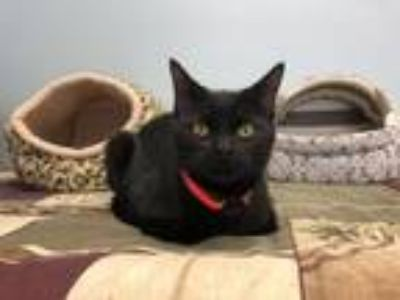 Adopt Nicholas a Domestic Short Hair