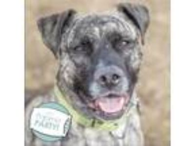 Adopt Krieger a Brindle American Pit Bull Terrier / Mixed dog in Ann Arbor