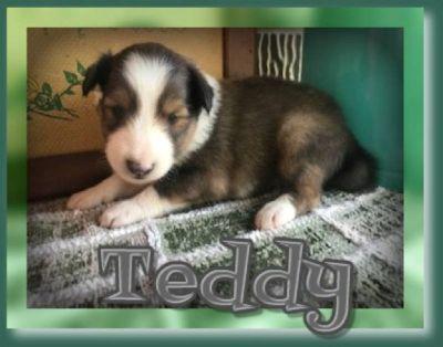 Todd Male Shetland Sheepdog