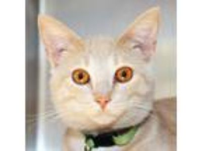 Adopt Bartlett a Tan or Fawn Domestic Shorthair / Domestic Shorthair / Mixed cat