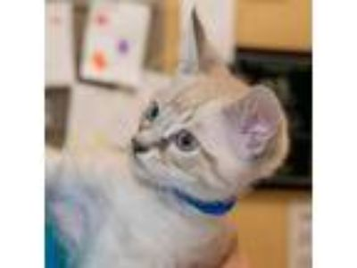 Adopt India a Cream or Ivory Siamese / Mixed (short coat) cat in Maryville