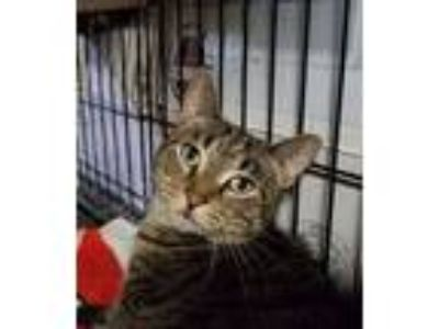 Adopt Karaoke a Domestic Short Hair