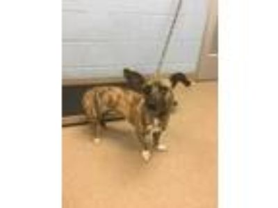 Adopt Cyndi a Tan/Yellow/Fawn Mixed Breed (Small) / Mixed dog in Chamblee
