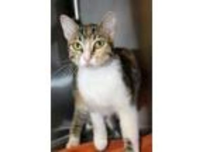 Adopt Tootles a White Domestic Shorthair / Domestic Shorthair / Mixed cat in