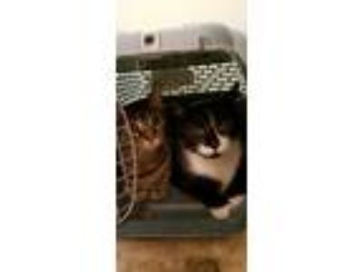 Adopt Beans and Ivy a Brown Tabby American Shorthair / Mixed cat in Hicksville