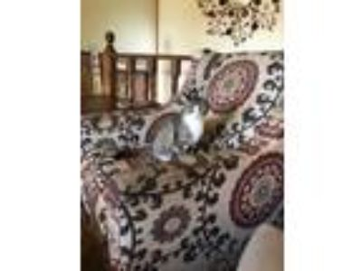 Adopt Miss Kitty a Spotted Tabby/Leopard Spotted American Shorthair / Mixed cat