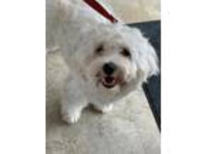 Adopt Mimi a White Poodle (Miniature) / Mixed dog in Chicago, IL (25566922)