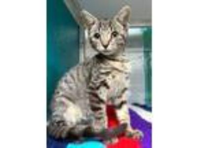 Adopt Odie a Gray or Blue Domestic Mediumhair / Domestic Shorthair / Mixed cat