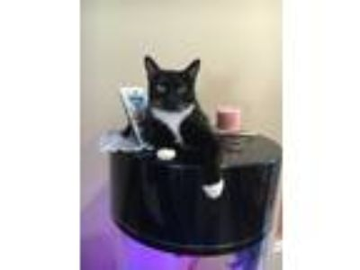 Adopt Winky a Black & White or Tuxedo American Shorthair (short coat) cat in