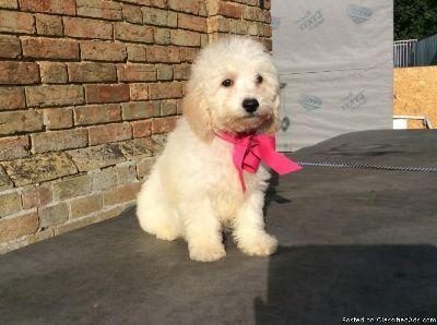 beautiful poochon pups available