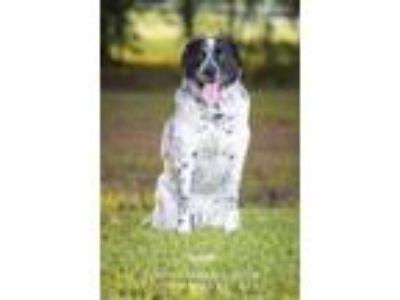 Adopt Hooch a Australian Cattle Dog / Blue Heeler, Pointer
