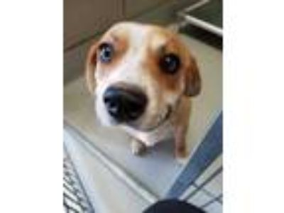 Adopt Tomas a Tan/Yellow/Fawn Beagle / Mixed dog in Irving, TX (25567573)