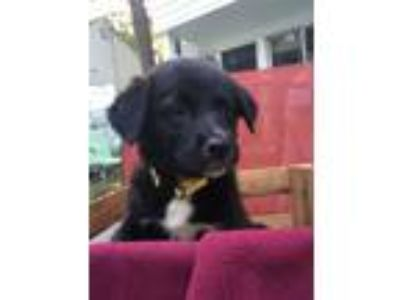 Adopt Bidi a Border Collie, Labrador Retriever