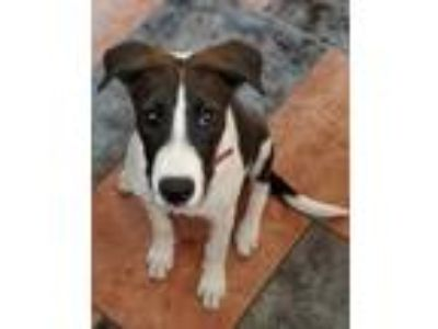 Adopt Hunter a Brown/Chocolate - with White Great Dane / Mixed dog in PUEBLO