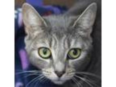 Adopt Luna a Gray or Blue Domestic Shorthair cat in Middletown, RI (25654578)